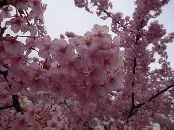 20110315_02_cherry_blossoms.JPG