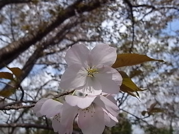 20110415_01_cherry_blossoms.JPG