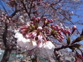 20120408_cherry_blossoms.JPG