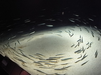 20130917_01_japanese_anchovy.JPG