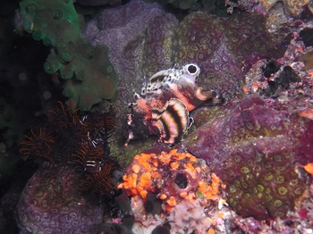 20140416_02_twospot_turkeyfish.jpg