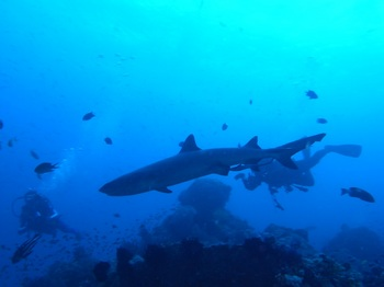 20141019_whitetip_reef_shark.jpg