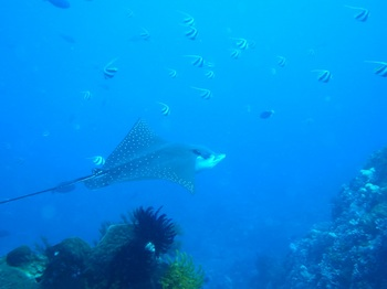 20141116_spotted_eagle_ray.jpg