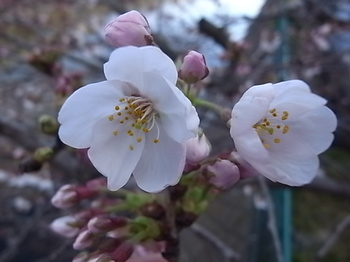 20150328_cherry_blossoms.JPG