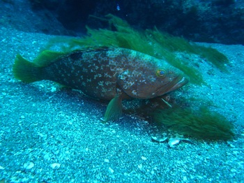 20150730_redspotted_grouper.jpg