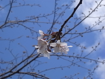 20160326_cherry_blossoms.JPG