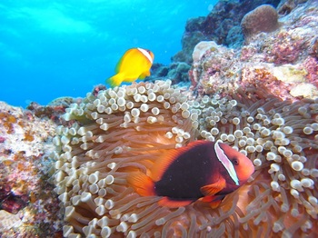 20180118_tomato_anemonefish_2.JPG