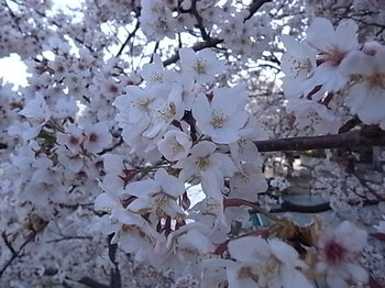 20180406_03_cherry_blossoms.JPG