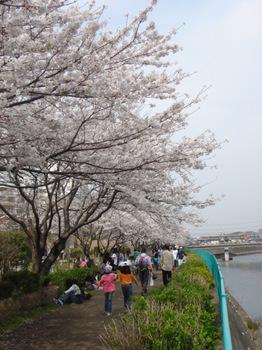 20070406_cherry_blossom_trees.jpg